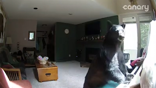 Bear plays piano
